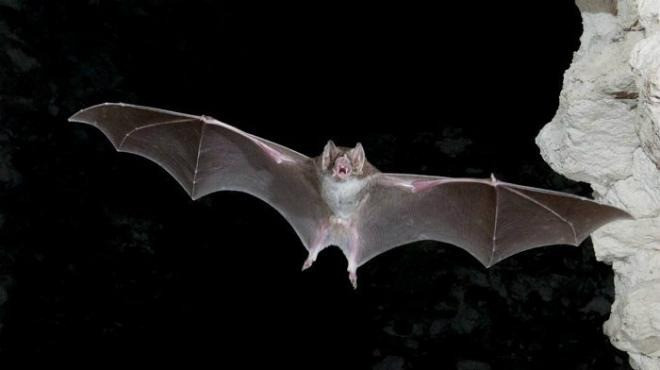 Los Murciélagos en Yucatán, una especie en abundancia que debemos proteger.
