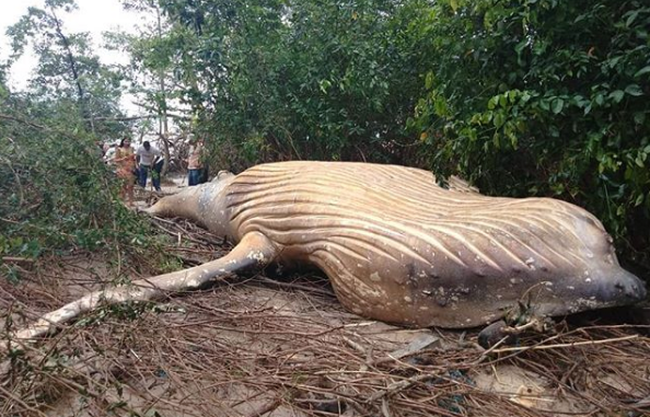 baleine à bosse , baleine hors de l'eau , cétacé , mammifere marin