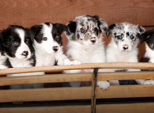 Interested in a GCRBC Puppy?