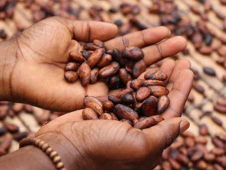 Cacao Beans Help Build Muscles?!