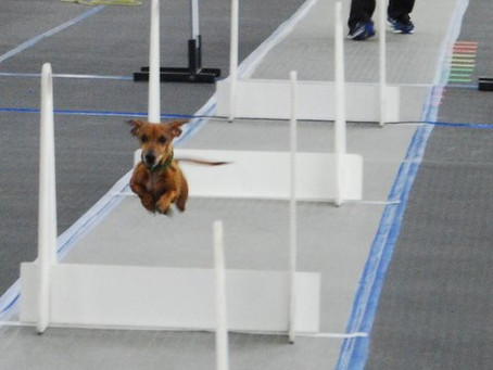 Have You Ever Heard of Flyball?