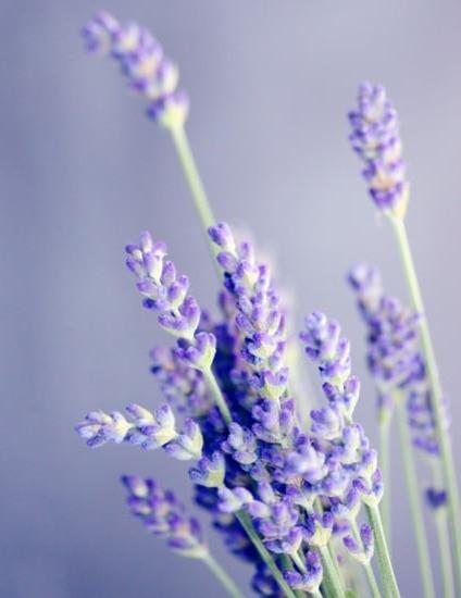 picture of purple lavender sprigs