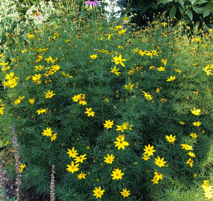 native coreopsis