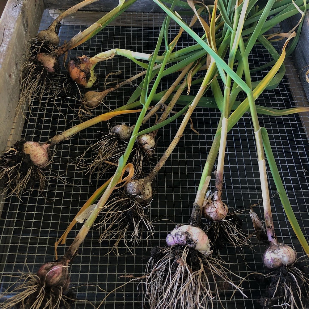 Garlic harvested from raised beds in a  backyard vegetable garden in gardening zone 3 of Alberta, Canada and placed on a screen to cure.