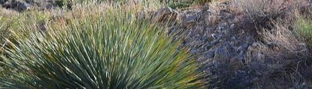 Top 10 des plantes pour terrains arides : le yucca rostrata