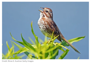 """Scientific American Blog: """"The Not-So-Simple Secret World of Song Sparrows"""""""