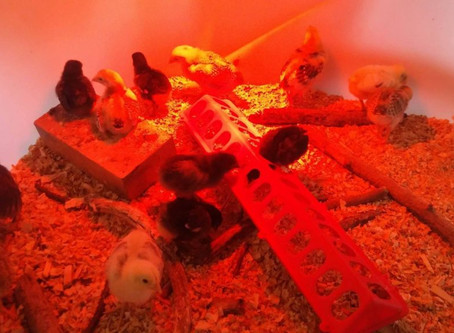 Picking up Chicks: Human Animal Relations on the Farm