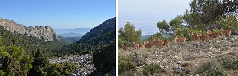 Pinares y roquedos, junto a arruís en las alturas de Sierra Espuña. Murcia. El Rollo Verde.