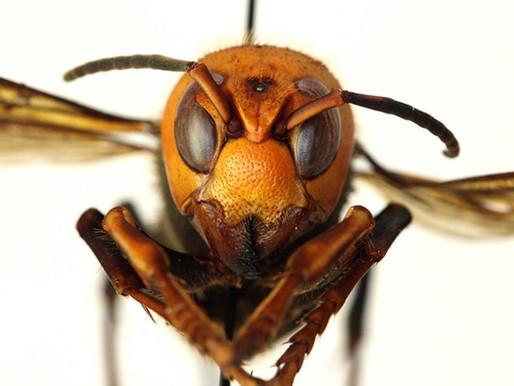 Murder Hornets: Should We Be Afraid?