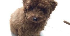 【卒業犬ラッキー】抱っこを好きになるトレーニング(埼玉県川口市)