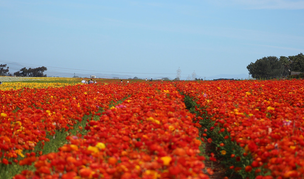 field of flowers, visit California, multi colored beautiful flowers, nature, outdoors, flowers, blooms, California, Carlsbad, Spring, travel, vacation, summer, gardens, fields