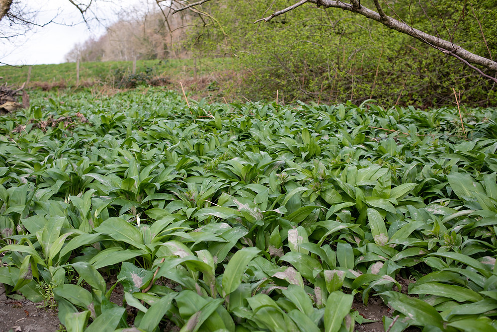 Wild garlic on the River Elwy - Rhyl and St Asaph Angling