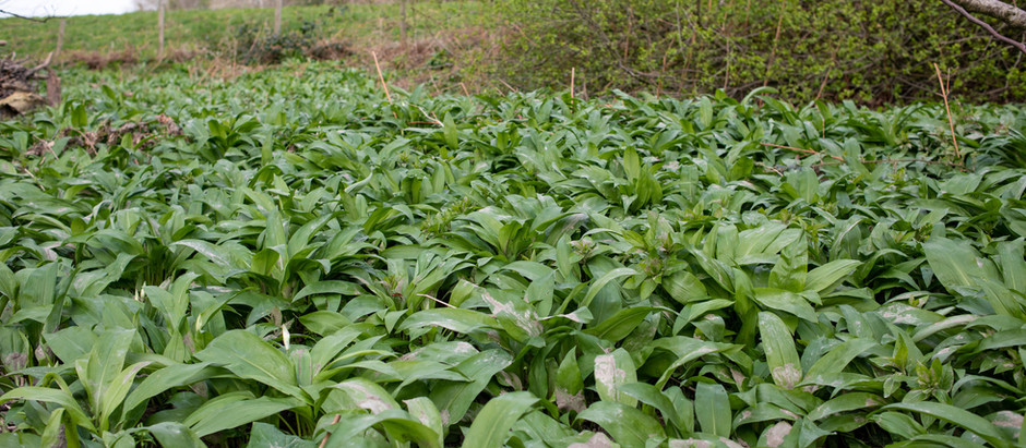 TIME FOR THE WILD GARLIC