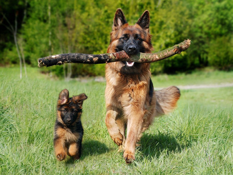 Displasia Coxofemoral em Cachorros