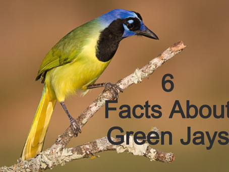 6 Facts About the Green Jay