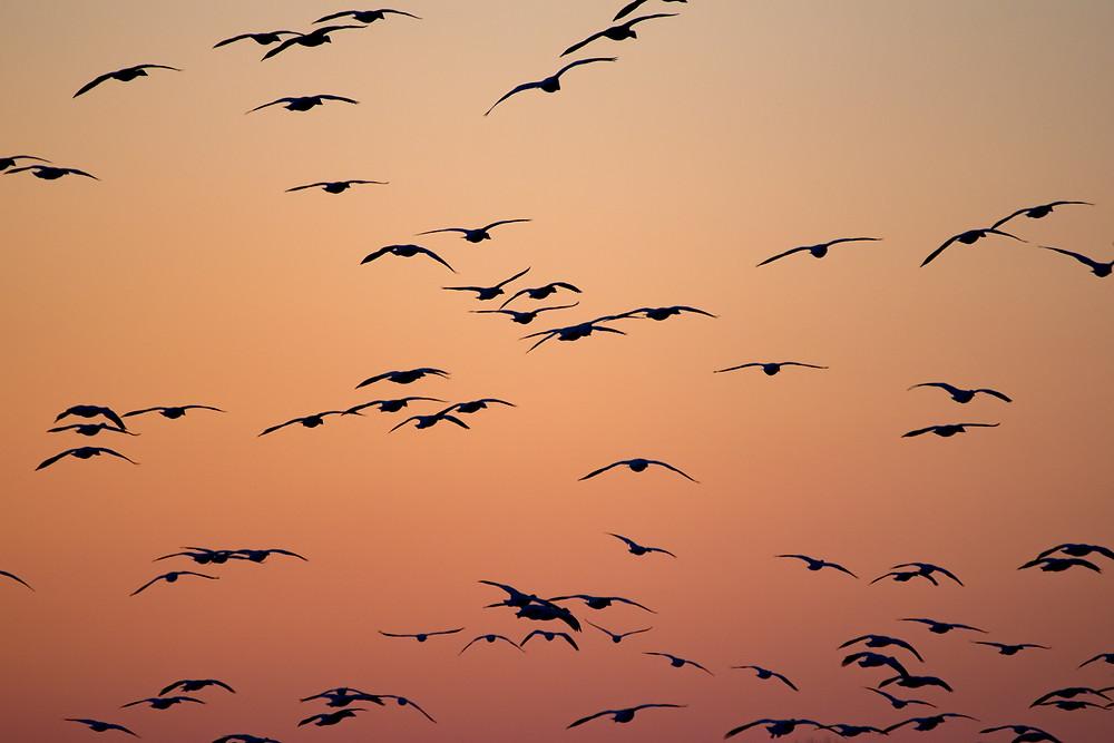 Les oiseaux en plein vol sont le symbole de la liberté