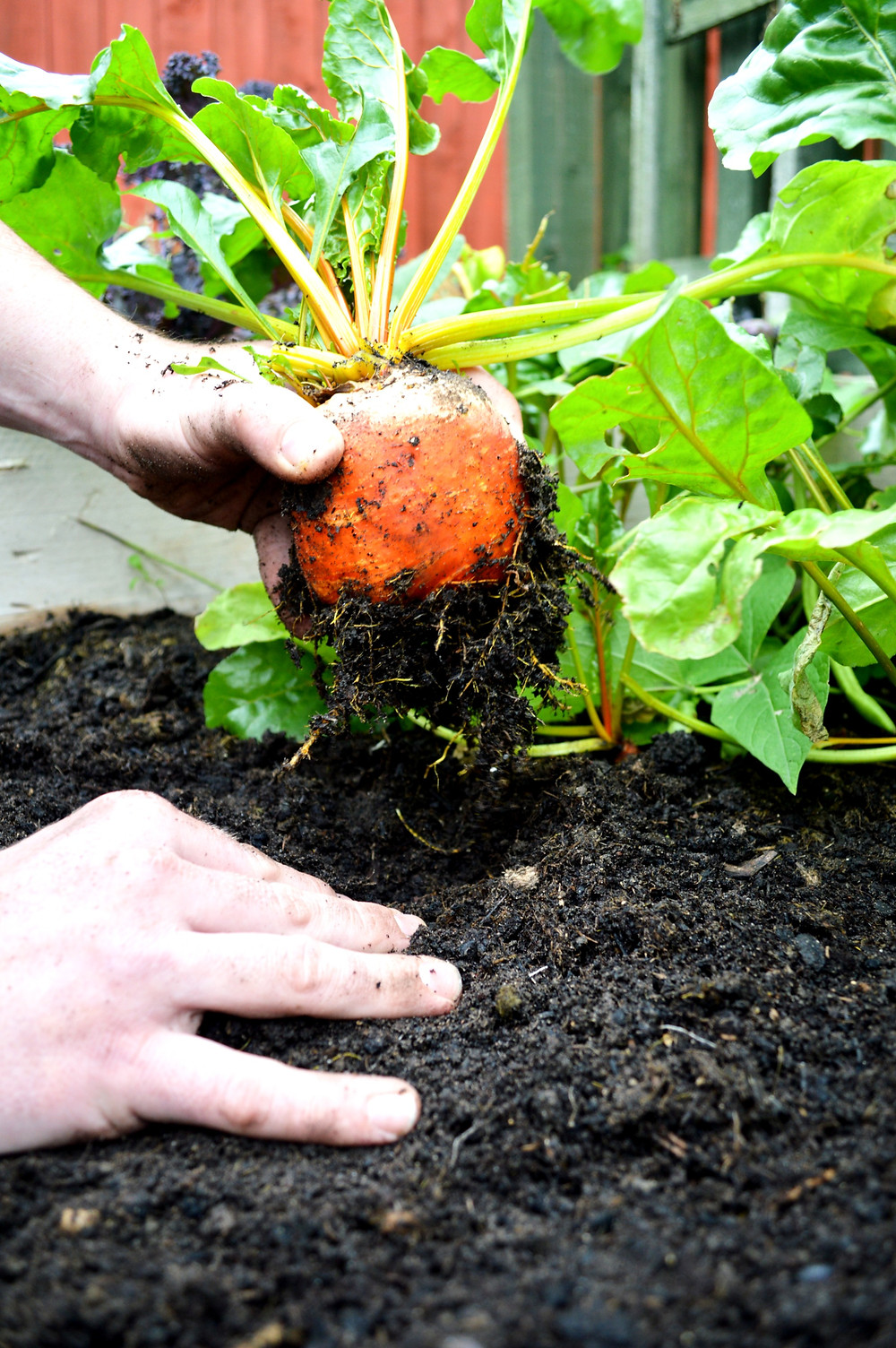 A bright golden beetroot being pulled from the earth..