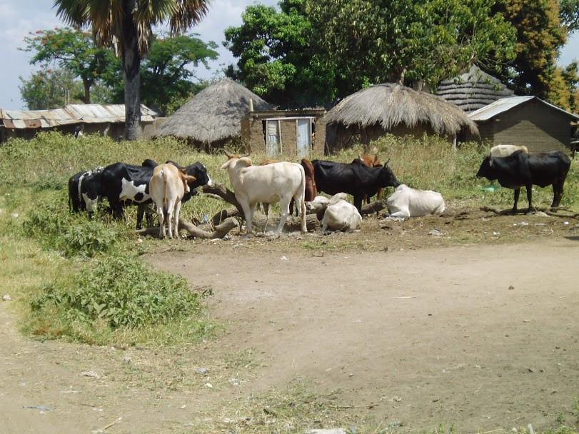 cattle, Teso, Karamoja, Uganda, IDP camp, alakara reiser, kapelebyong