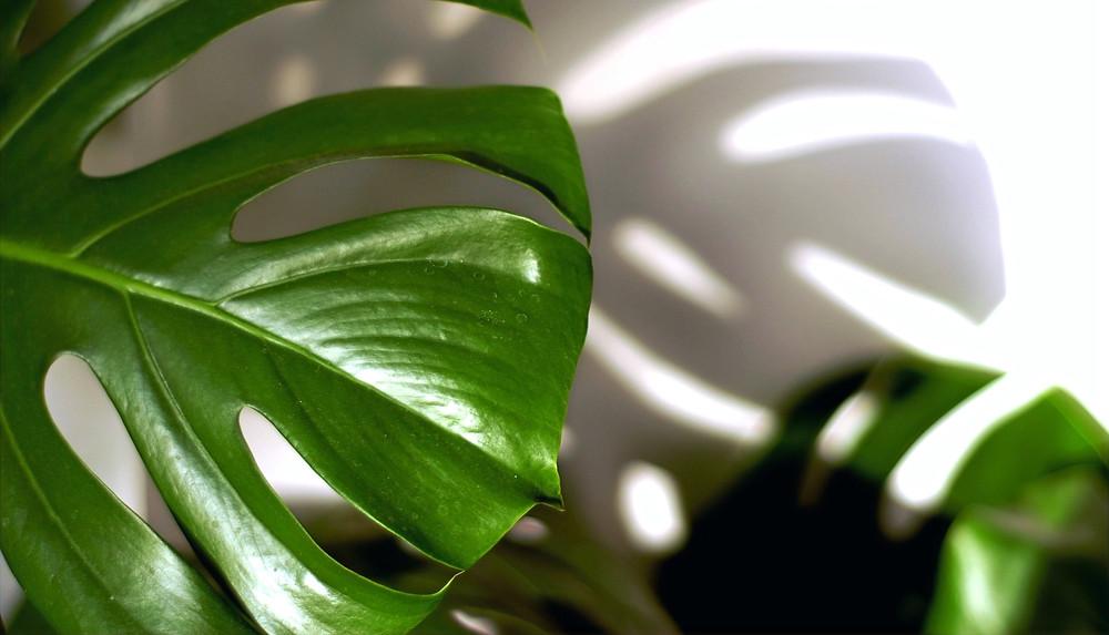 plante intérieur philodendron