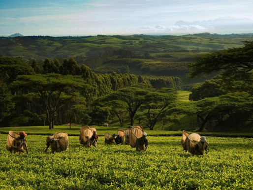 95 Years of Satemwa Tea in Malawi