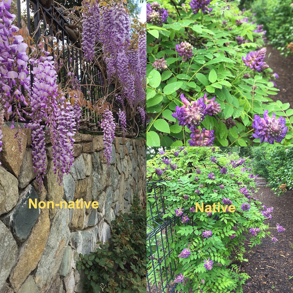 American wisteria and Chinese wisteria