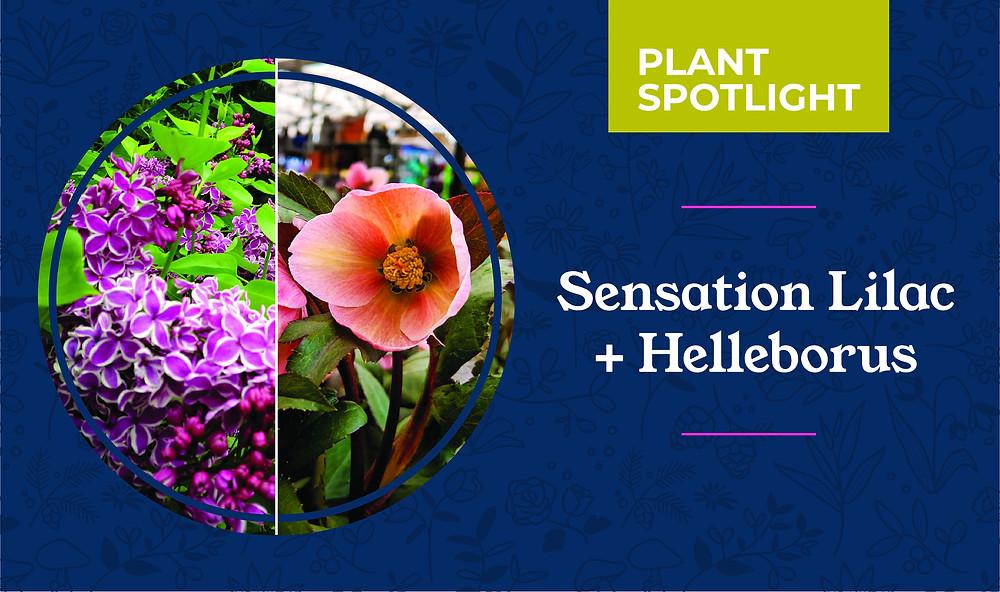 Sensation Lilac and Helleborus