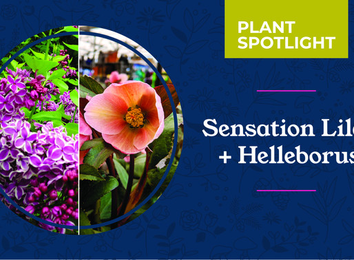 Plant Spotlight: Sensation Lilac and Helleborus