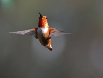 Rufous Has Arrived!