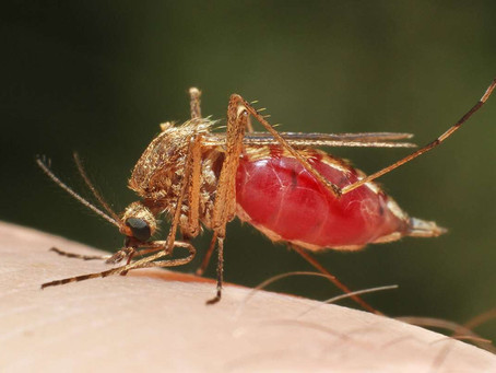 The world is coming one-step closer to the release of gene drive mosquitoes into the environment