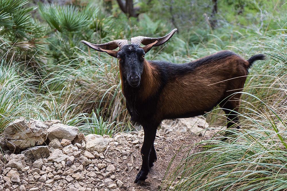 Es frecuente encontrarse por el camino a la cabra balear, que lleva viviendo en Mallorca desde que la trajeron los fenicios en 2000 A.C.