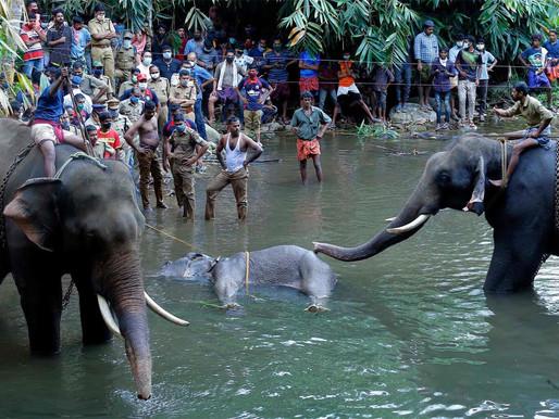 Inde : Un fruit explosif tendu à l'éléphante enceinte