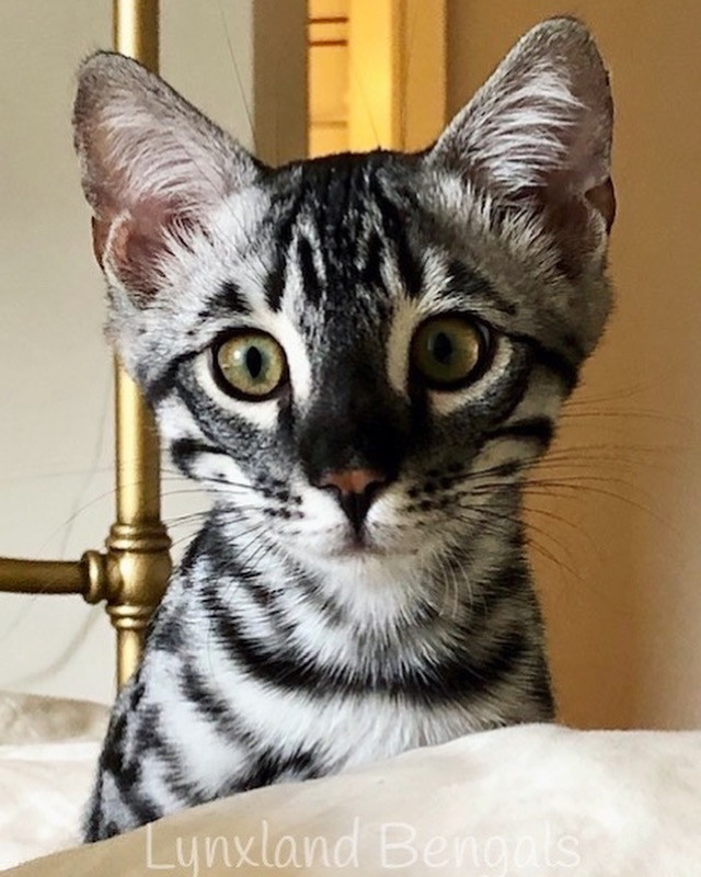 Silver charcoal bengal cat - Lynxland Avaneesh