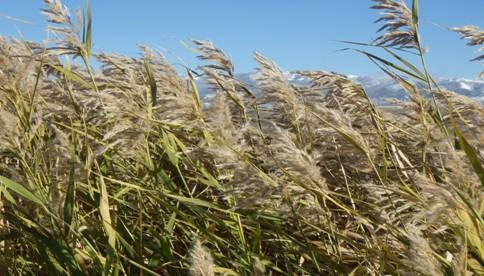 Phragmites treatment