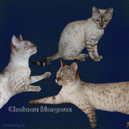 Kočka bengálská  – Seal Lynx