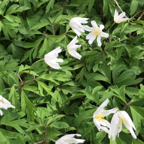 Swathes of White Wood Anemone Flowers on a bed of 3 lobed leaves in sunshine