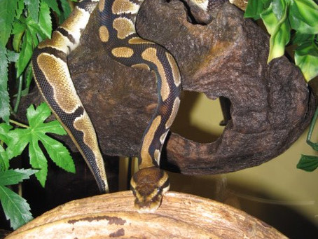 Meeting Monty, the Ball Python