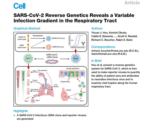 SARS-CoV-2 Reverse Genetics Reveals a Variable Infection Gradient in the Respiratory Tract