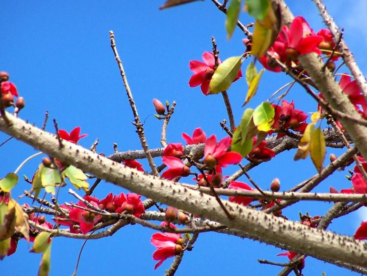 Red Silk Cotton Tree/ Bombax ceiba at Belen Prep, Miami