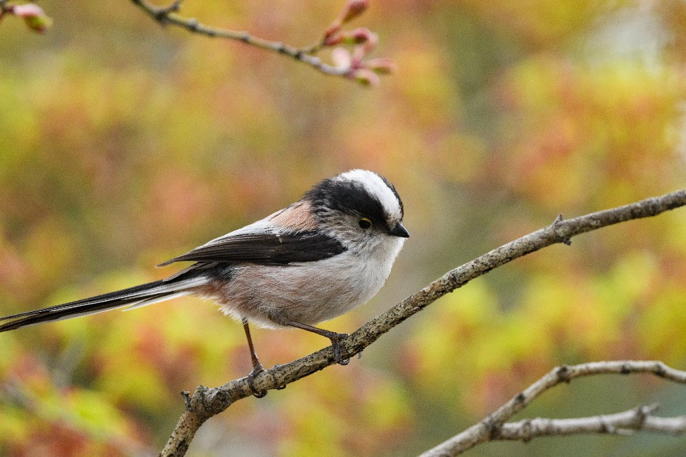 エナガ / Long-tailed tit