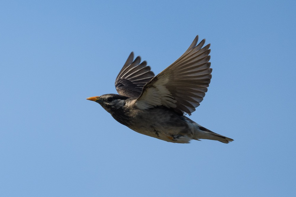 飛行するムクドリ / A flying white cheeked starling