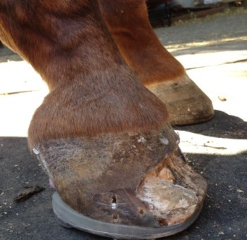 White Line Disease a problem for your horse? We can help.
