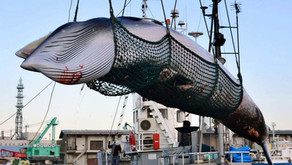 Japan and its Restart of Commercial Whaling