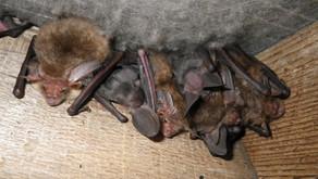 Dicas de como afastar morcegos no forro da casa.