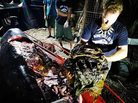 พบพลาสติก 40 กิโลกรัม อยู่ในท้องวาฬ
