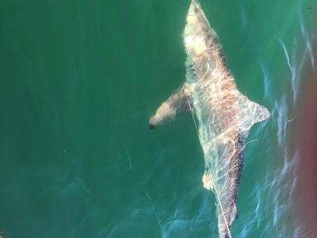 Sunday's Shark