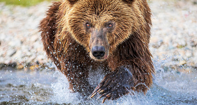 Close Encounters with Alaska's Brown Bears!
