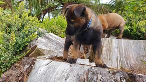 Raising a puppy - Covid 19