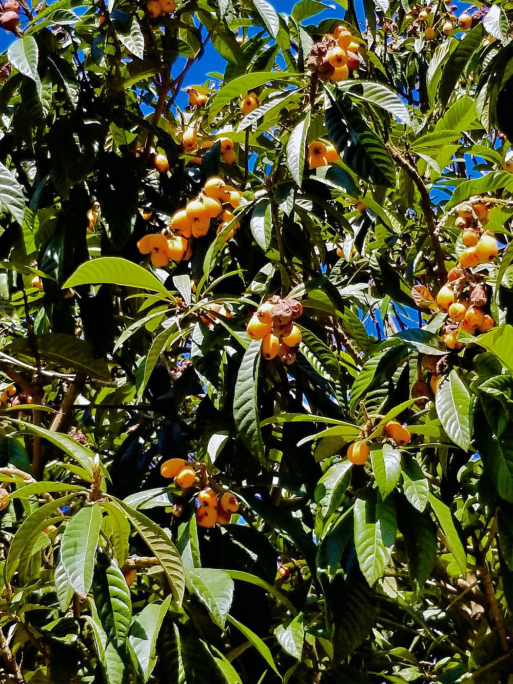 Loquats growing on a tree