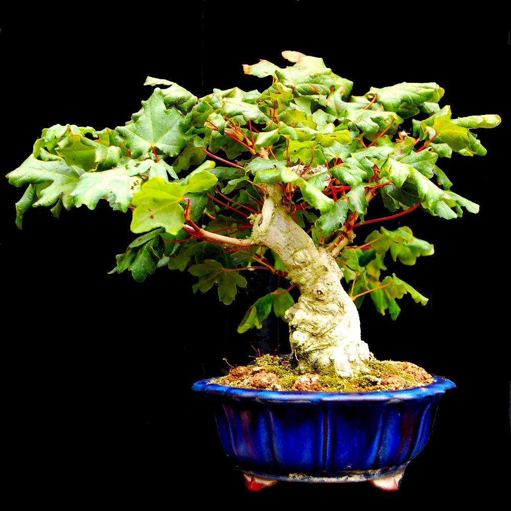 Field Maple, Acer campestre, Bonsai