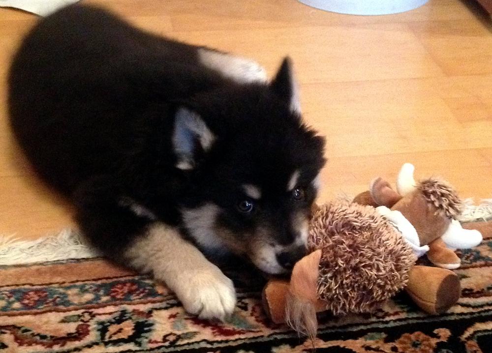 Finnischer Lapphund Welpe Suomenlapinkoira pup Finnish Lapphund